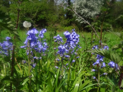 meadow-bluebells