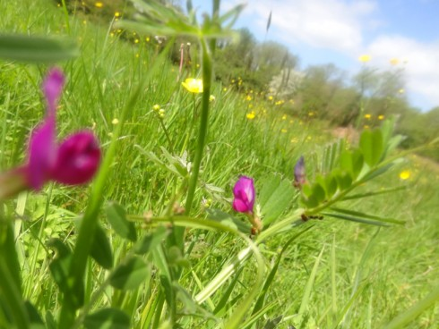 meadow-vetch